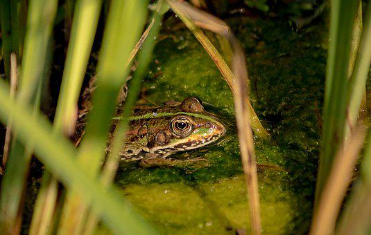 Frog, Animal, Animal World, Pond, Water, Green, Toad