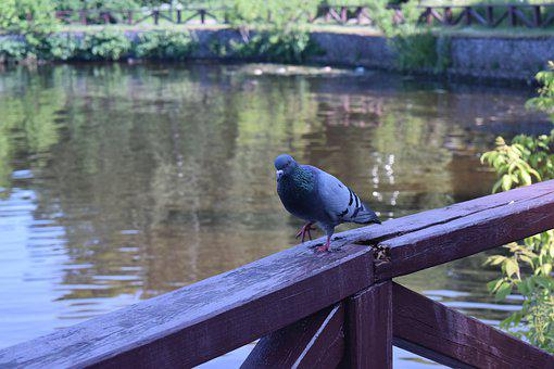 Dove, Step, Stroll, Pond, Bird, City, Fence, Water