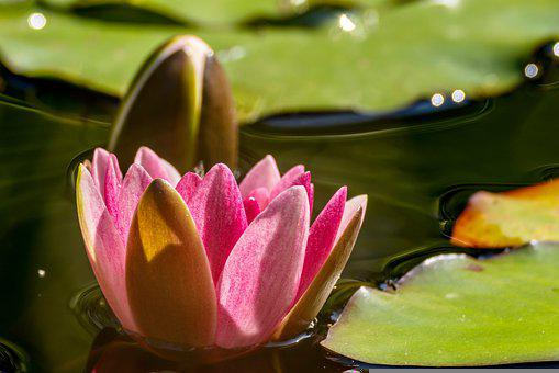 Water Lily, Aquatic Plant, Water Flower