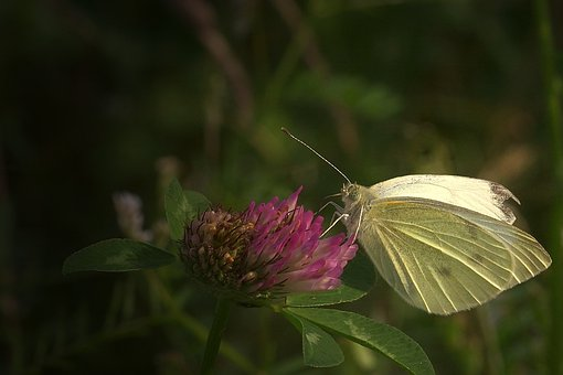 Butterfly, Blossom, Bloom, White, Insect, Nature