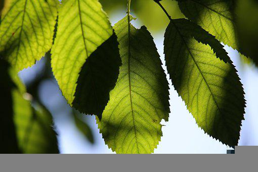Green Leaves, White Cherry, Branch, Tree, Blue Sky