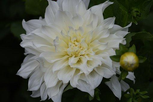 White, Dahlia, Big, Bloom, Flower, Garden
