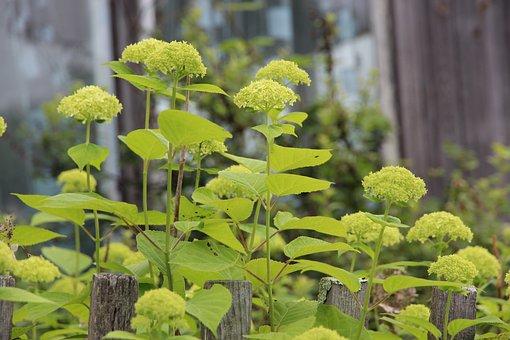 Hydrangea, Flowers, White Flowers, Bush, Inflorescence