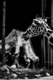 Giraffe, Africa, Wilderness, Poaching, Safari, Nature