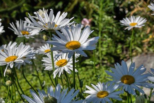 Daisies, Flowers, Garden, White, Yellow