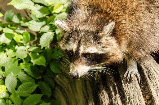 Raccoon, Zoo, Mammal, Nature, Animal World, Animal