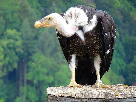 Vulture, Scavengers, Bird, Bird Of Prey, Raptor