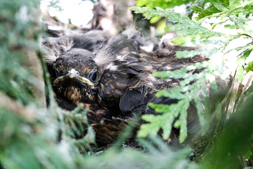 Blackbird Nest, Young Animal, Young, Nest, Blackbird