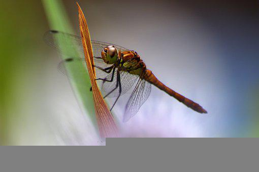 Swamp Heath Dragonfly, Dragonfly
