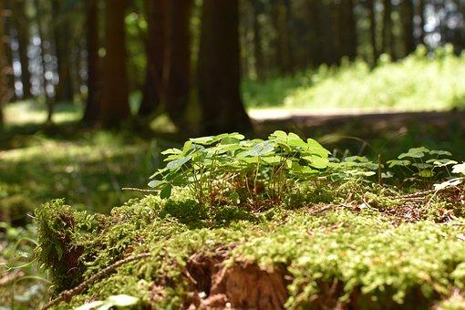 Klee, Forest, Moss, Luck, Forest Floor, Forest Clover