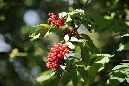 Holler, Tree, Elder, Bush, Holder Bush, Nature, Fruit