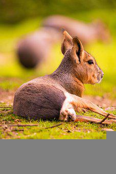 Kangaroo, Australia, Baby, Animal