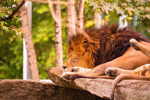 Lion, Sleeping, Sleep, Predator, Animal, Zoo, Fur