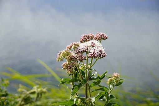 Eutrochium, Flowers, Agrimony, Nature, Summer, Plant