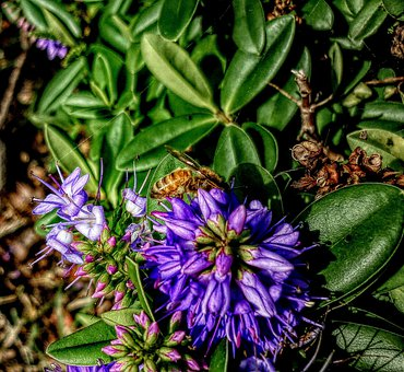 Flower, Bee, Nature, Insect, Lavender, Garden, Purple