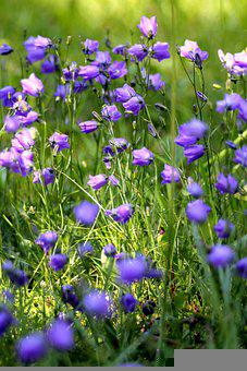 Campanula, Nature, Bellflower, Blue, Flowers, Summer