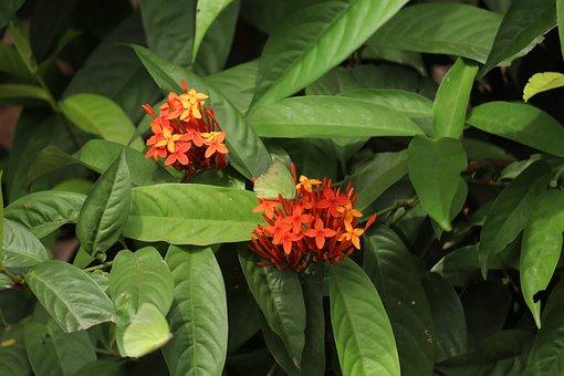 Kerala, Garden, Ixora, Thettipoov, Flower, Nature