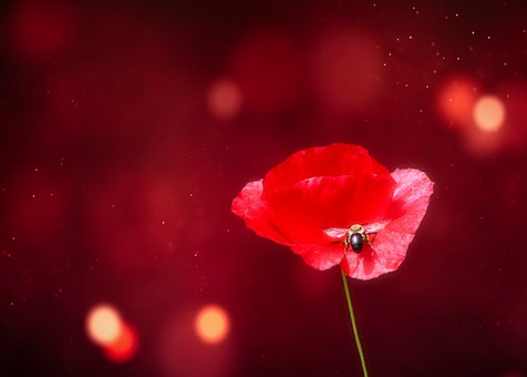 Poppy, Bee, Approach, Red, Insect, Wing