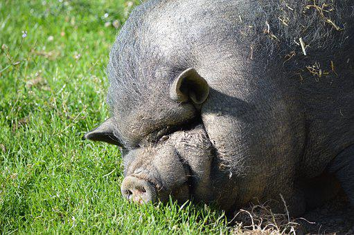 Pig, Sow, Portrait, Farm, Animals