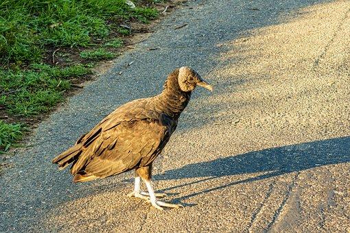 Vulture, Black Vulture, Buzzard, Scavenger, Bird