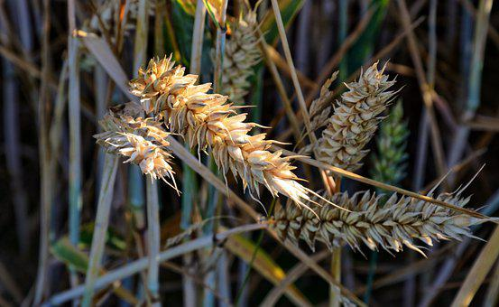 Plant, Cereals, Nature, Spike