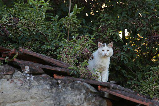 White Cat On The Roof, Observing Photographer, Domestic