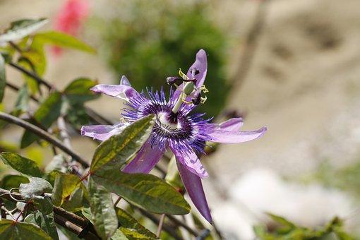 Passion Flower, Blossom, Bloom, Flower, Passiflora