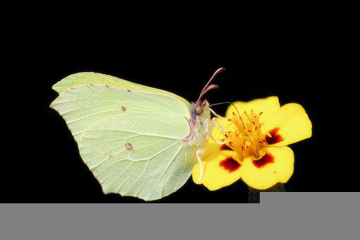 Gonepteryx Rhamni, Butterfly, Close Up