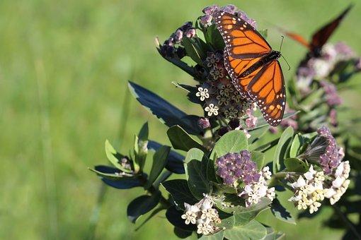 Milkweed, Monarch Butterflies, Butterfly Host Plant