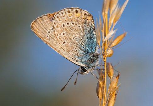 Common Blue, Polyommatus Icarus, Meadow, Flowerbed