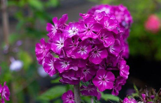 Phlox, Flame Flower, Purple, Flowers