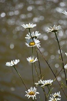 Daisy, Bokeh, Nature, Spring, Flower, Garden, Morning