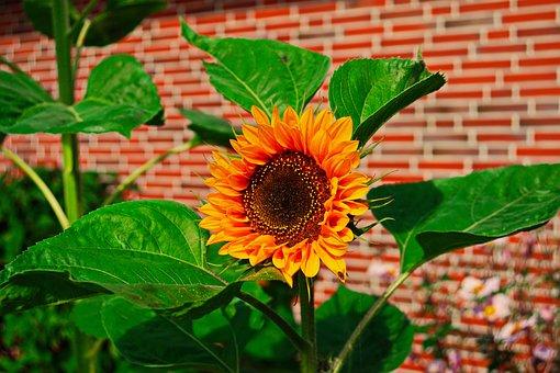 Sunflower, Orange, Summer, Nature, Plant, Blossom