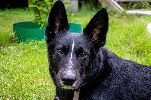 Dog, Pet, Animals, Portrait, Black