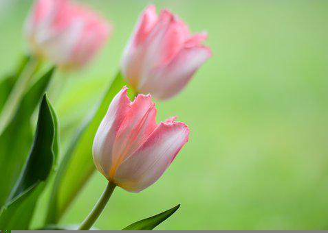 Tulips, Flowers, Spring, Nature, Rosa