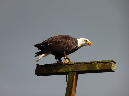 Adler, White Tailed Eagle, Raptor, Bald Eagle