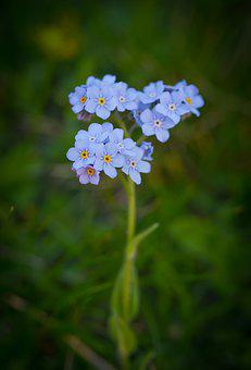 Flower, Blue, Nature, Summer, Flora, Forget-me-not