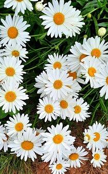 Daisy, Macro, White, Nature, Flora, Garden, Flowers