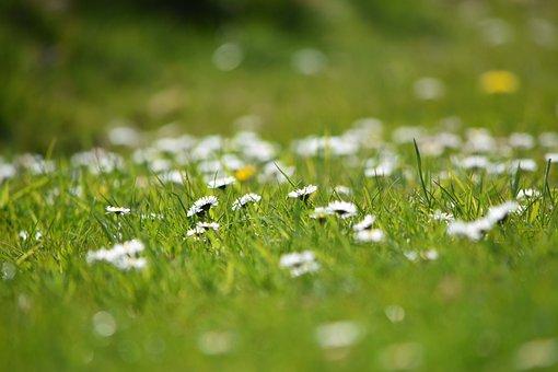 Daisy, Flower, Rush, Summer, White, Nature, Gardening
