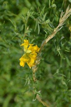 Flower, Yellow, Wild, Broom, Nature, Plants, Spring