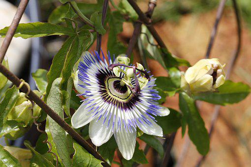 Passion Flower, Blossom, Bloom, Flower, Passiflora