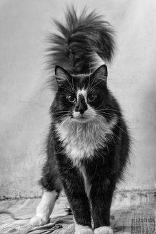 Cat, Katze, Animal, Pet, Kater, Buschig, Schwarz, Weiß