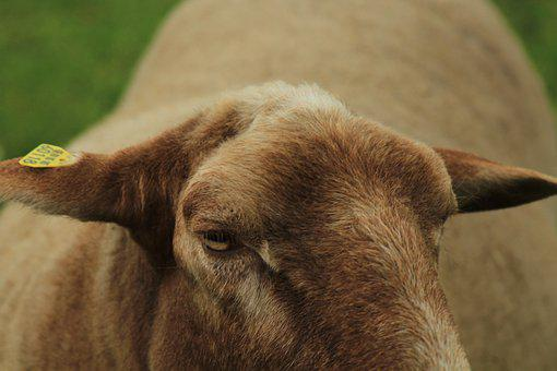 Sheep, Brown, Eye, Ears, Tame, Schäfer, Wool, Nature