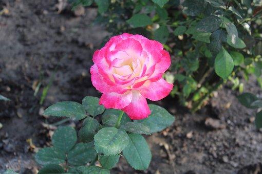 Flower, Floral, Leaf, Spring, Nature, Rose, Blossom