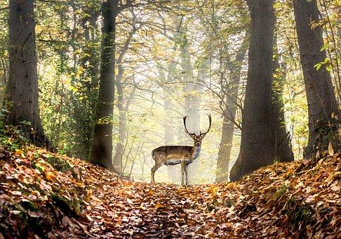 Deer, Fallow Deer, Stag, Buck, Trees, Forest, Woodlands