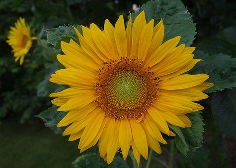 Sunflower, Yellow, Plant, Summer, Flower, Blossom