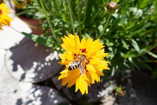 Honey Bee, Mädchenauge, Composites, Bright, Yellow