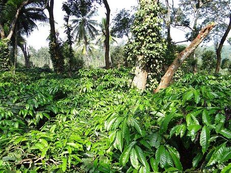 Coffee Plantation, Coffea Robusta, Ammathi, Coorg
