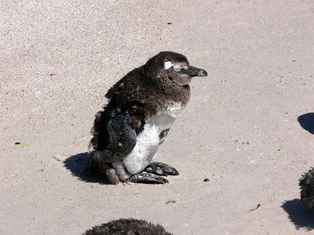 Molting, Beach, Feathers, Penguin, Simon Town