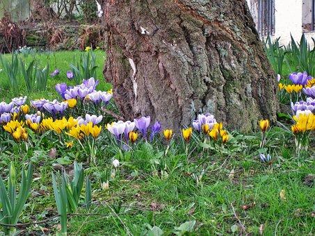 Spring In The Garden, Crocus, Birch Trunk, Birch